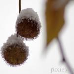 Platanenfrüchte im Schnee